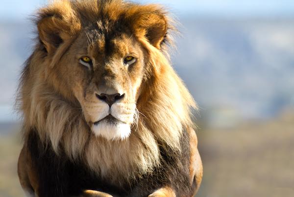 Coachens åtta tips för att leda som ett lejon